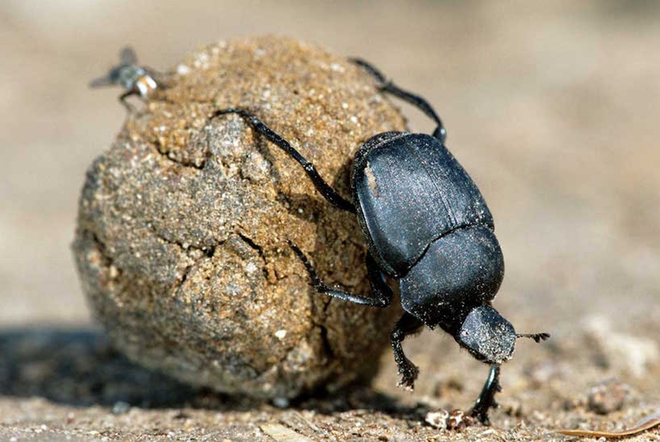 Ball of Shit with dung beetle and fly